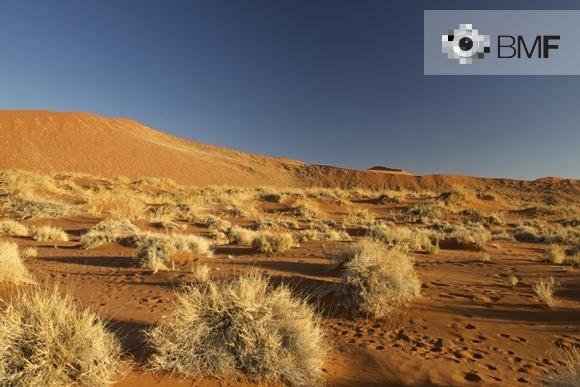 Plànol general d'un desert farcit d'una sèrie d'arbustos groguencs escampats entre les dunes vermelles que ho caracteritzen.