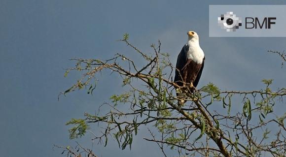 Una majestuosa àguila negra amb cap blanc i bec groc, se subjecta en una branca a la part alta d'un arbre mentre observa fixament el paisatge que l'envolta.