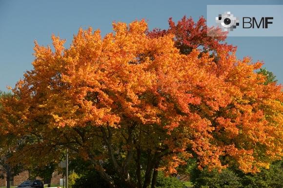 Imatge de la copa d'un arbre solitari amb les seves fulles vermelloses i ataronjades en un dia de tardor clara.