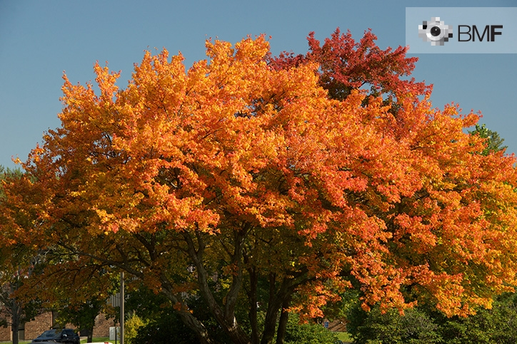 Image of the top of a solitary tree with reddish and orangish leaves on a clear, cloudless day.