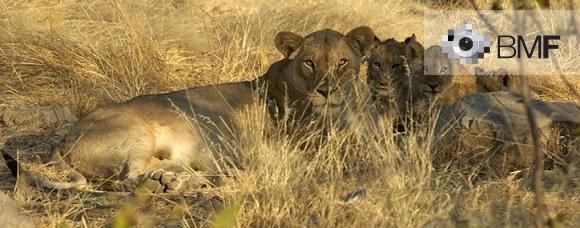 Una lleona reposa al costat dels seus cadells enmig de la pastura groguenca de la sabana que els amaga juntament amb l'ombra de la vegetació que els cobreix.