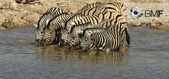 Un grup de sis zebres beuen quasi en fila recta en la riba d'un petit riu africà.