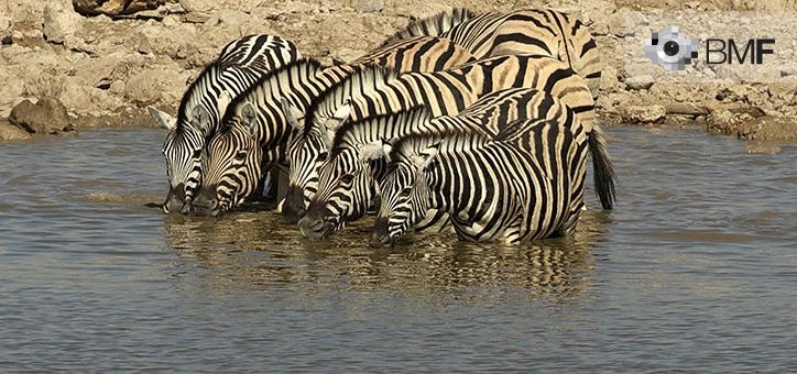 Un grupo de seis cebras beben en fila casi recta en la orilla de un pequeño río africano.