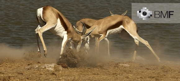 Two antilopes in a full tussle for power, leap and clash their antlers. The earth and the dust blur the ground by a softly greyish lagoon.