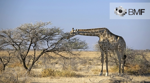 A giraffe in the middle of the Savannah, surrounded by trees and dry grass, is calmly grazing under a big, blue sky.